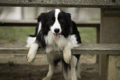 Черно-белая собака стоковое фото rf