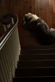 Черно-белая старая английская овчарка лежа на дне шагов Стоковые Изображения RF
