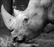 Черно-белая фотография носорога в зоопарке Стоковые Изображения