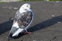 Черно-белая чайка Стоковая Фотография