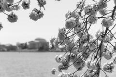 Черно-белое изображение вишневых цветов Стоковые Фото