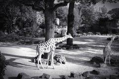 Черно-белое изображение жирафа Стоковые Фото