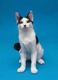 Черно-белое ровное усаживание котенка пальто, смотря удивленный стоковое фото rf