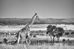 Черно-белое фото жирафа Стоковое фото RF