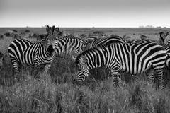 Черно-белое фото зебр Стоковые Изображения RF