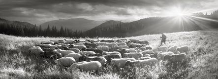 Черно-белое фото овец Стоковая Фотография RF
