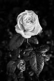 Черно-белое фото подняло с дождевыми каплями Стоковое Фото