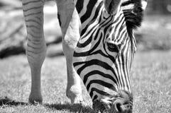 Черно-белое фото с зеброй наслаждается съесть Стоковое Изображение RF