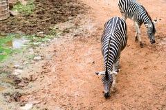 черно-белые зебры стоят на земле Стоковая Фотография RF