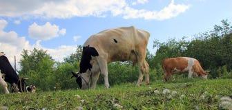 Черно-белые и коричневые коровы с рожками пасут в живописном сельском луге Стоковая Фотография