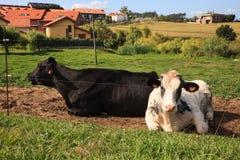 Черно-белые и коричневые коровы Стоковые Фото