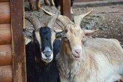 Черно-белые козы Стоковое Изображение RF