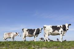 Черно-белые коровы вытаращятся в зеленом травянистом луге под голубым небом Стоковая Фотография