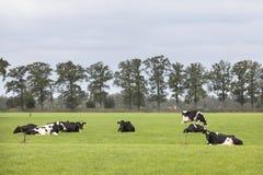 Черно-белые коровы в поле с линией деревьев в Нидерланд Стоковое Изображение RF