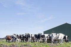 Черно-белые коровы в солнечном голландском зеленом луге под голубым небом Стоковое Изображение