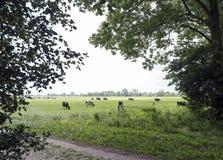 Черно-белые коровы в луге увиденном через деревья в голландском provi Стоковые Фото