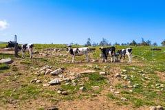 Черно-белые коровы в ферме и красивом взгляде ландшафта  Стоковые Изображения