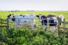 Черно-белые коровы перед железным стробом Стоковые Фотографии RF