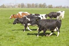 Черно-белые коровы танцуют и бегут в голландском луге на первый день Стоковая Фотография RF