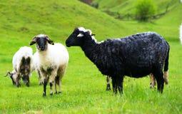 Черно-белые овцы на выгоне Стоковая Фотография RF