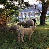 Черно-белые овцы с овечками Стоковые Фото