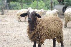 Черно-белые овцы Стоковое Изображение