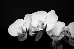 Черно-белые орхидеи Стоковая Фотография