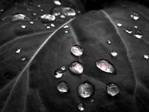 Черно-белые падения воды на листьях капусты Стоковые Фотографии RF