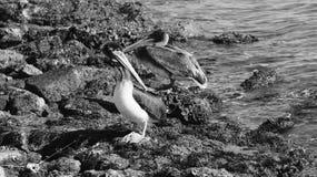 Черно-белые пеликаны коричневого цвета Галвестона Техаса Стоковое фото RF