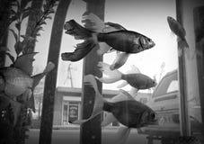Черно-белые рыбы золота на улице стоковые изображения