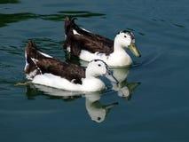 Черно-белые утки Стоковая Фотография
