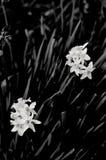 Черно-белые цветки шарика Стоковое Изображение