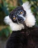 Черно-белый лемур Стоковое Фото