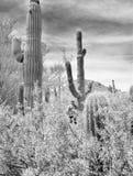Черно-белый кактус и супруг Стоковые Фото