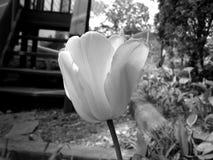 Черно-белый конец вверх зацветая тюльпана Стоковые Фото