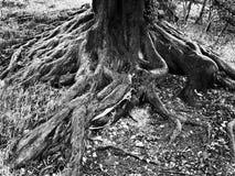 Черно-белый корень дерева Стоковое Изображение RF