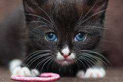 Черно-белый котенок Стоковая Фотография RF