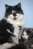 Черно-белый котенок 2 Стоковое Изображение
