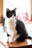 Черно-белый кот взрослой женщины Стоковая Фотография