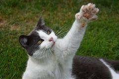 Черно-белый кот лежа в траве и поднятый лапке вверх Стоковые Изображения RF