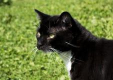 Черно-белый кот смокинга внешний Стоковые Фото
