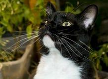 Черно-белый кот смокинга Стоковое Изображение RF