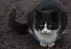 Черно-белый кот, смотря вас Стоковые Изображения RF