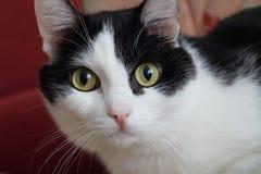 Черно-белый кот Стоковое Изображение RF