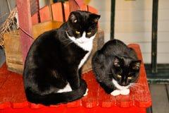 Черно-белый наблюдать котов Стоковые Фото
