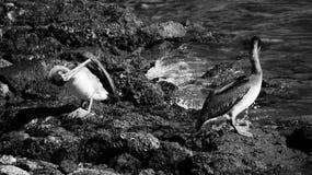 Черно-белый пеликан коричневого цвета Галвестона Стоковые Изображения RF