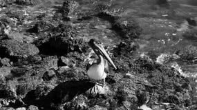 Черно-белый пеликан 1 коричневого цвета Галвестона Стоковые Изображения RF