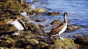 Черно-белый пеликан 1 коричневого цвета Галвестона Стоковые Фотографии RF