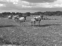 Черно-белый портрет антилопы гну Стоковые Изображения