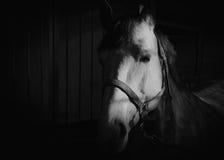 Черно-белый портрет белой лошади Стоковая Фотография